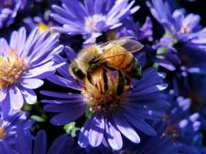 Honeybee on asters from the summer of 2012.
