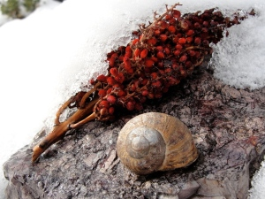 Snail and sumac in the snow on February 10, 2013.
