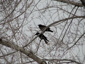 2:18:13 2 crows