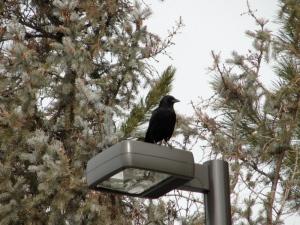 2:18:13 crow on light
