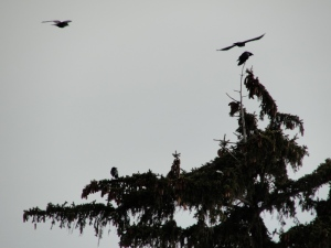 2:18:13 evergreen crows flying