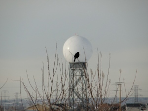 Redwing blackbird with mystery ball and power lines.