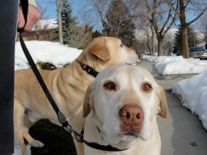 Grace (with George behind) a yellow Labrador retriever on February 8,  2013.