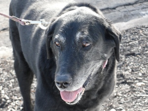 Lily, elderly black Labrador retriever on February 7, 2013.