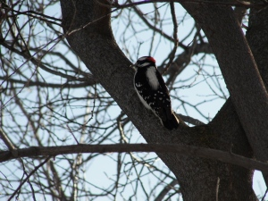 Downey woodpecker on February 7, 2013.