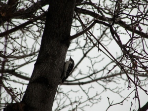 Downey woodpecker on 2/8/13.