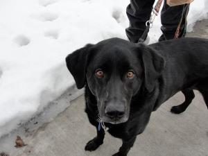 Indiana Jones a black Labrador Retriever on February 9, 2013.
