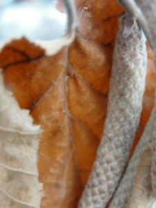 3:2:13 leaf catkin close v