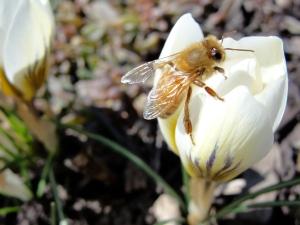 3:9:13 bee white crocus