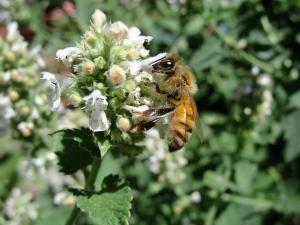 6:27:13 honeybee catnip