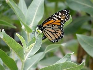 7:28:13 laying monarch