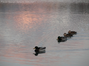 1:13:14 ducks at sunset sig