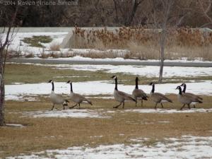 1:13:14 strolling geese sig