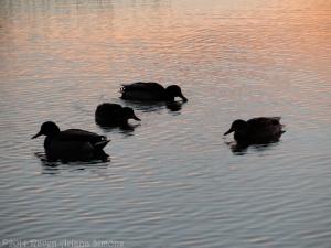 1:13:14 sunset ducks sig