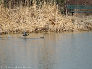 1:28:14 running coot and cormorant sig