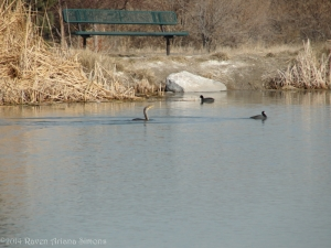 1:28:14 sig two coots and cormorant bench