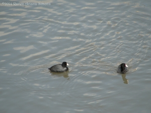2:10:14 two coots sig