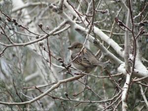 2:15:14 female sparrow sig