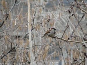 2:15:14 male sparrow sig