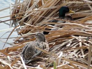 2:18:14 nesting ducks sig