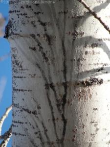 2:2:14 aspen details on bark sig