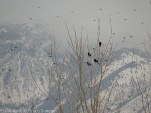 2:6:14 starlings and robin sig
