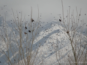 2:6:14 starlings one flying sig