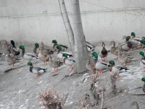 2:7:13 ducks up on bank