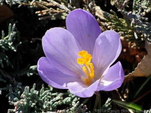 3:12:14 crocus pollen sig