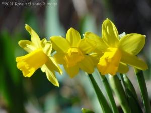 3:12:14 daffodil sig