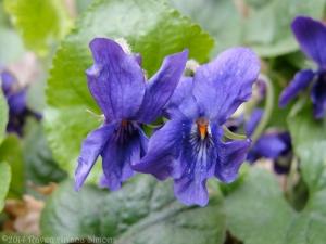 3:18:14 violets sig