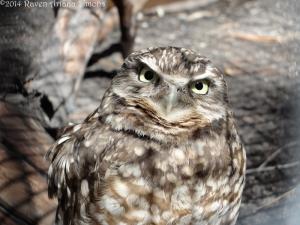 3:20:14 burrowing owl sig