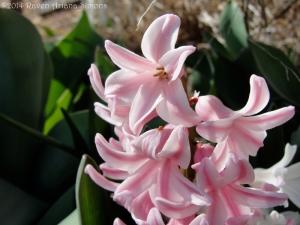 3:22:14 pink hyacinth sig