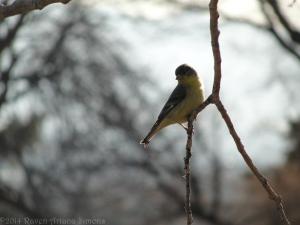 3:23:14 goldfinch 1 sig