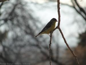 3:23:14 goldfinch sig