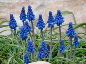 3:29:14 grape hyacinths sig