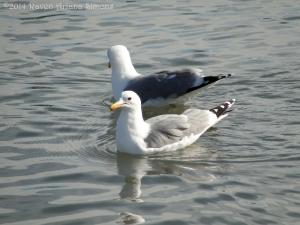 3:9:14 seagull pair sig