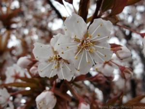 4:1:14 blossom pair sig