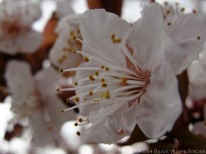 4:1:14 plum blossom sig