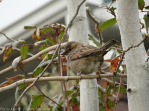 4:4:14 female sparrow sig