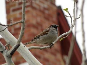 4:4:14 male sparrow sig