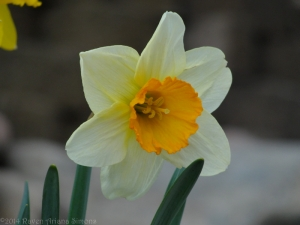 4:4:14 orange centered daff sig
