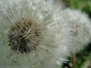 4:8:14 dandelions closer sig