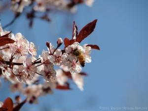 4:8:14 honeybee blossom1 sig