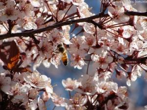 4:8:14 honeybee blossoms sig