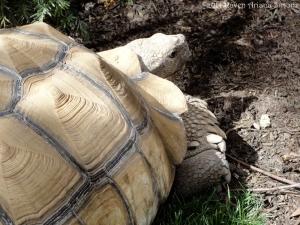 4:9:14 tortoise half body sig