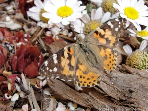 5:10:14 painted lady closer sig