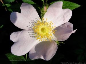 5:20:14 rose in sun sig
