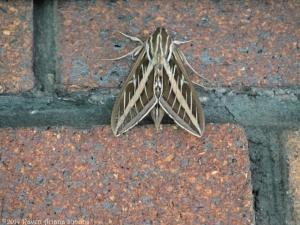 5:21:14 sphinx moth sig