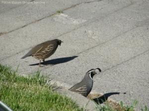 5:25:14 funny quail sig